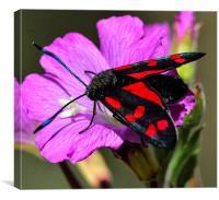 beautiful moth, Canvas Print