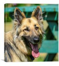german sheppard dog, Canvas Print