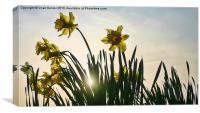Sunshine Backlit Daffs, Canvas Print