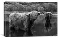 Highland Coos., Canvas Print