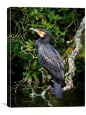 Cormorant perched on a branch., Canvas Print