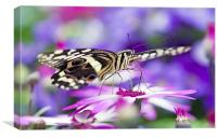 The Citrus Swallowtail Butterfly, Canvas Print