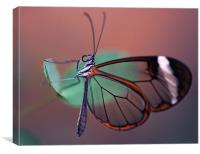 The Glasswinged Butterfly, Canvas Print