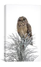 Short Eared Owl, Canvas Print