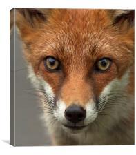 Fox portrait, wild, Canvas Print
