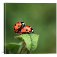 Ladybird tryst, Canvas Print