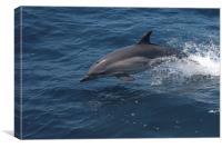 Common Dolphin, Canvas Print