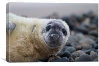 Seal Pup, Canvas Print