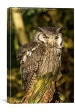 Southern White-faced Owl - Ptilopsis Granti #2, Canvas Print