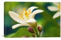 Lemon Tree Flower Blossom, Canvas Print