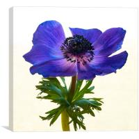 Blue Anemone Flower, Canvas Print