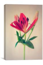 Red Orange Lily Flower, Canvas Print