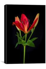 Orange Lily Flower on Black, Canvas Print