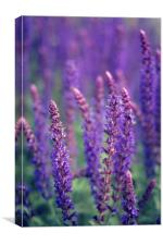 Salvia Superba Blue Flowers, Canvas Print