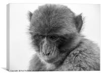 Barbary Macaque in Gibraltar, Canvas Print