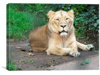 Lion relaxing., Canvas Print