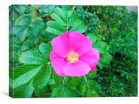 Pink flower in the garden., Canvas Print