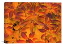 Autumn leaves Sheffield park, Canvas Print