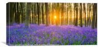 Sunset at Bluebells woodland, Canvas Print
