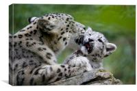Snow leopard and cub, Canvas Print