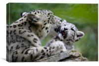 Snow leopard and cub, Canvas Print