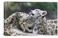 Snow leopard cub washes mum., Canvas Print