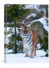 Amur tiger in snow, Canvas Print