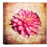 Pink Dahlia, Canvas Print