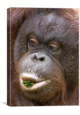 Orangutan, Canvas Print