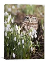 Little Owl and Snowdrops., Canvas Print