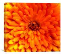 Chrysanthemum bloom, Canvas Print