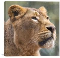 Lioness Head Side On, Canvas Print