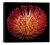 Pincushion flowers (scabiosa), Canvas Print