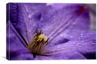 Clematis, Canvas Print