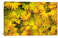Acer Tree Coloured Leaves, Canvas Print