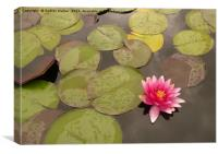 water lily in pond, Canvas Print