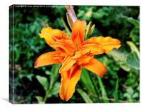 Orange Iris Flower, Canvas Print