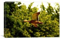 Female Mallard Duck Flying, Canvas Print