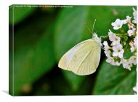 Small White Butterfly, Canvas Print
