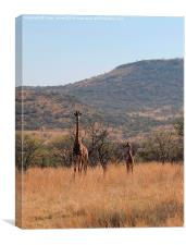 Giraffe and Calf, Canvas Print