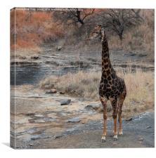Male Giraffe, Canvas Print
