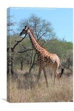 Female Giraffe, Canvas Print