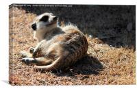 Sleepy Meerkat, Canvas Print