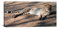 Lazy Cheetah, Canvas Print