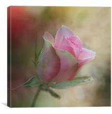The Pink Rose, Canvas Print