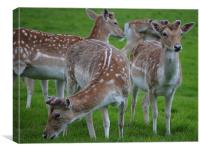 young deer at wollaton hall deer park nottingham, Canvas Print