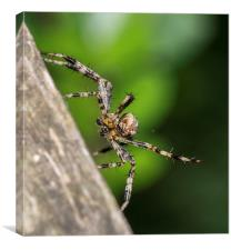 Male European garden spider, Canvas Print