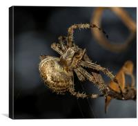 Female European garden Spider, Canvas Print