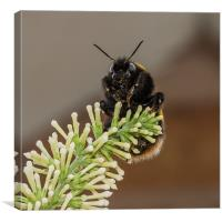 Bumble Bee, Canvas Print
