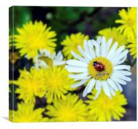 Ladybird on a daisy, Canvas Print